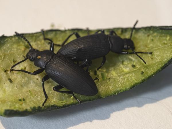 Tenebrionidae beetles